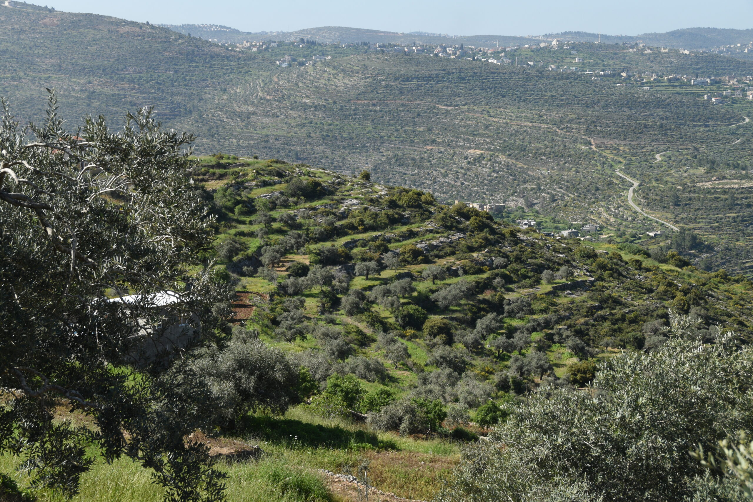 Sustainably grown olive harvest 3