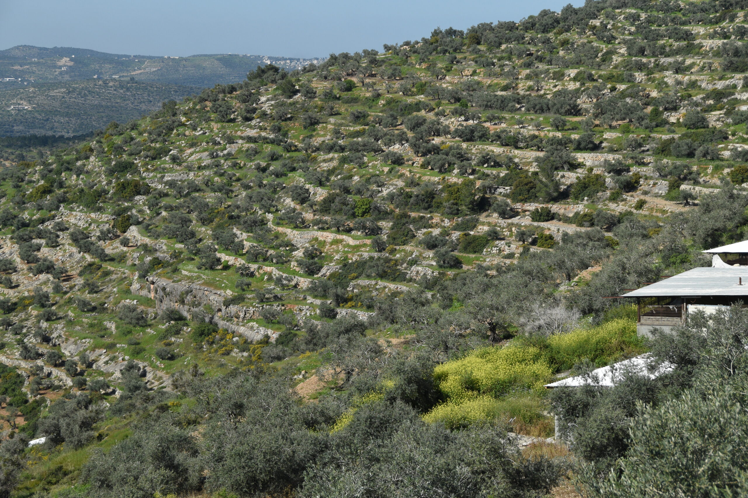 Sustainably grown olive harvest 4